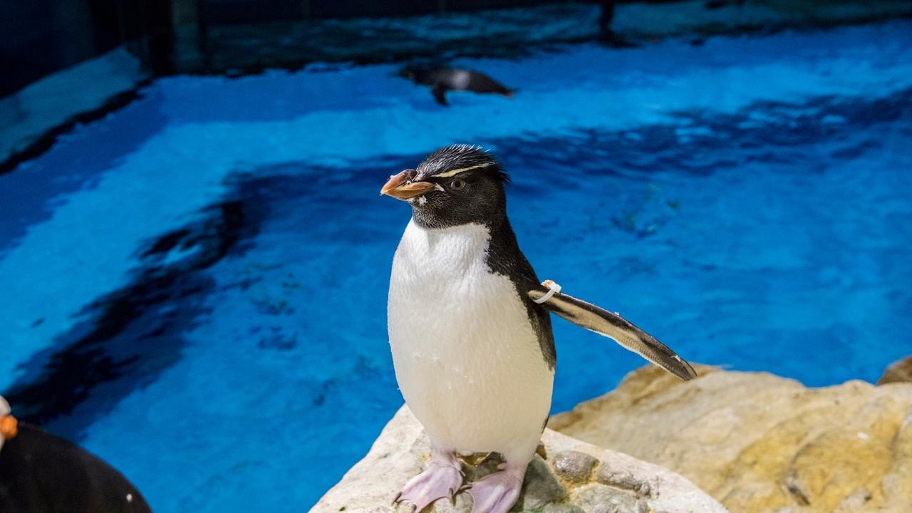 Με το Shedd κλειστό για τον άνθρωπο, πιγκουίνοι ευκαιρία να εξερευνήσουν και να επισκεφθείτε άλλα ζώα