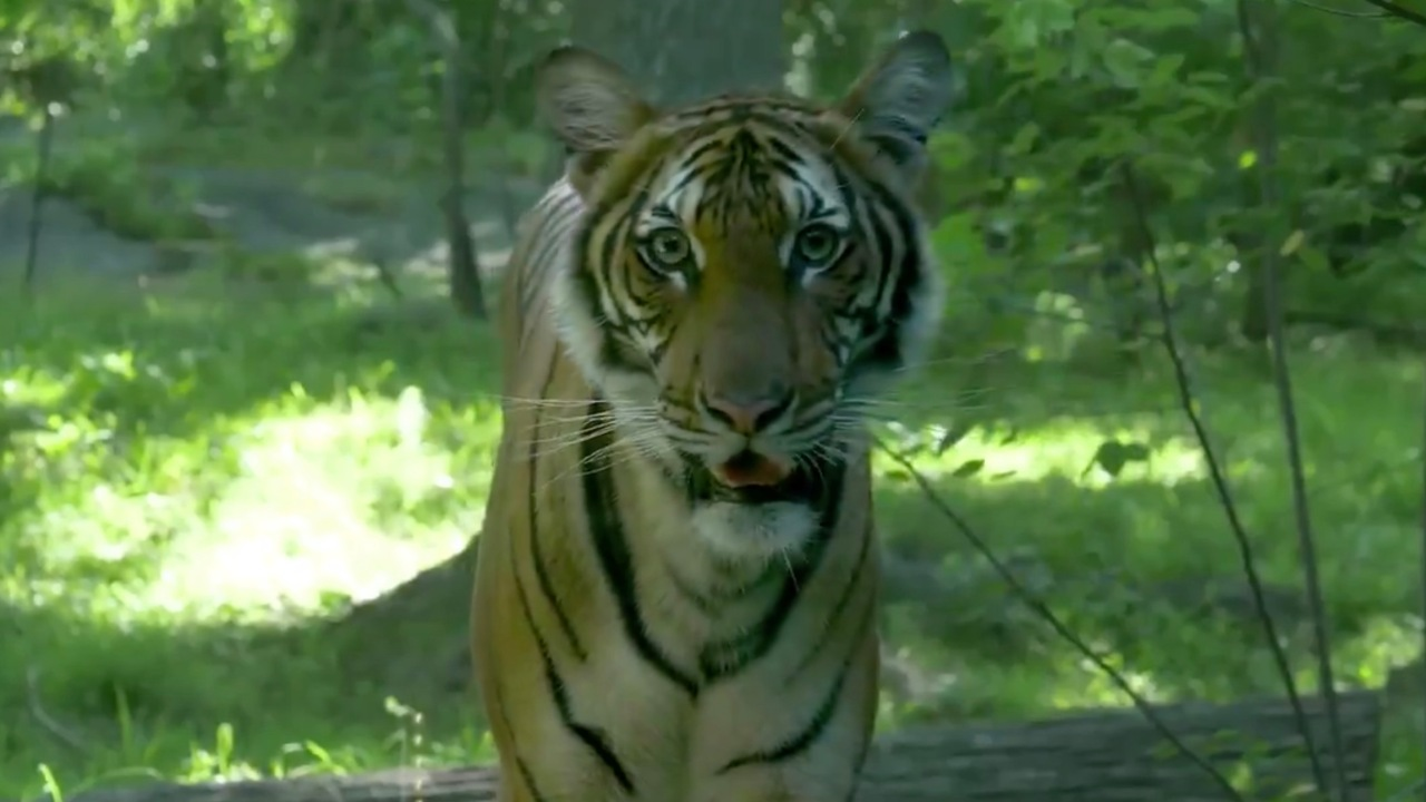 Μια τίγρη θετικό για COVID-19, αλλά τι γίνεται με τα κατοικίδια ζώα; Το USDA απαντήσεις στις ερωτήσεις σας