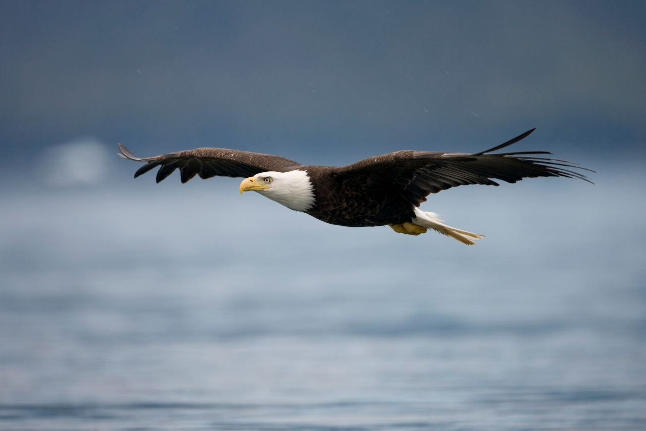 Bald eagles removed from Indiana endangered species list